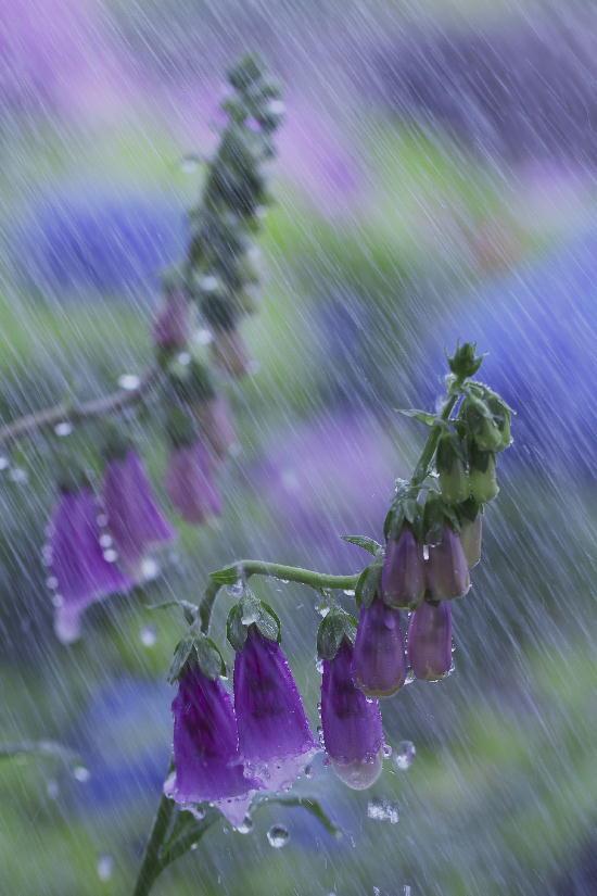 蛍袋に似た花-1