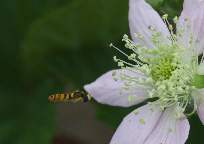 フヘラックベリー蜂1