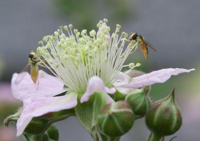 ブラックベリー蜂4
