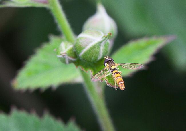 ブラックベリー蜂6