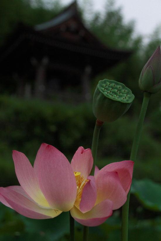 連興寺の蓮-1