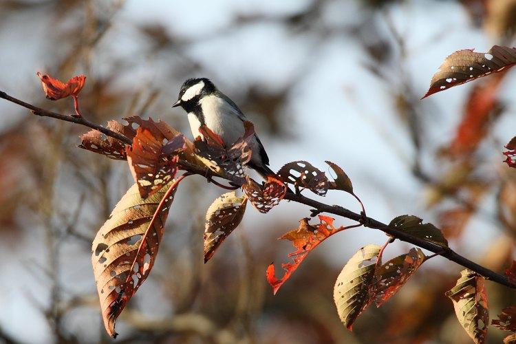 秋色のシジュウカラ