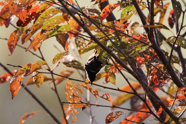 秋色のヒガラ