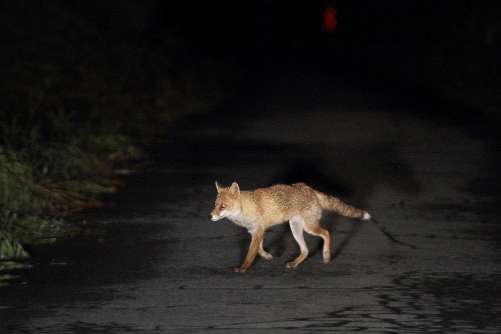 夜のキツネ
