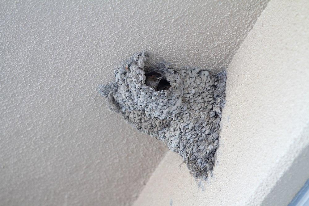 コシアカツバメ巣
