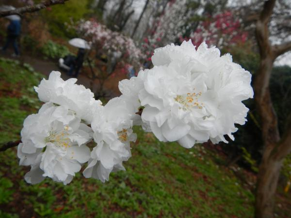 katakuri1.jpg