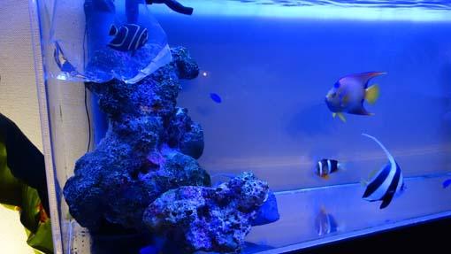 フレンチ幼魚投入