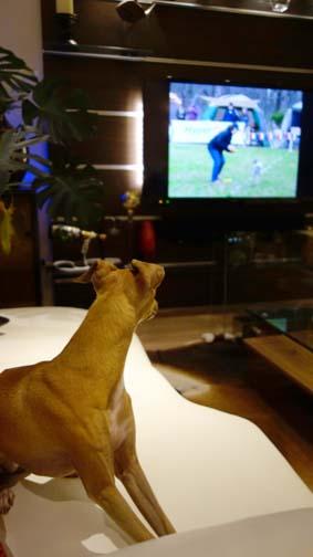 TVに犬が映ると1
