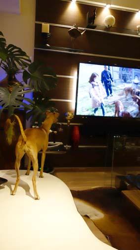 TVに犬が映ると2