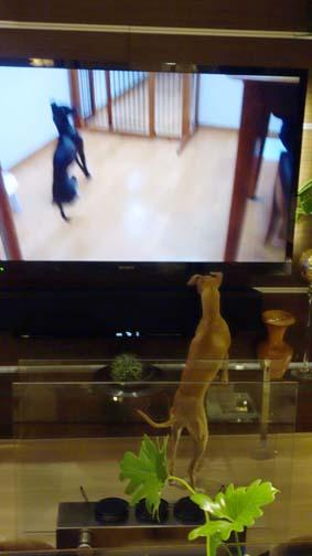 TVに犬が映ると3