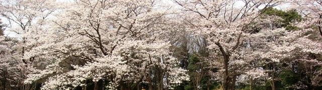 埼玉県の染井吉野