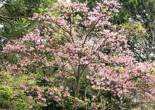 Okinaqa Sakura 5