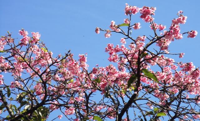 沖縄桜㈹七月二二日