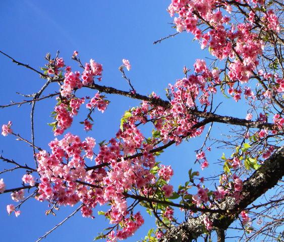 沖縄桜㈮七月二二