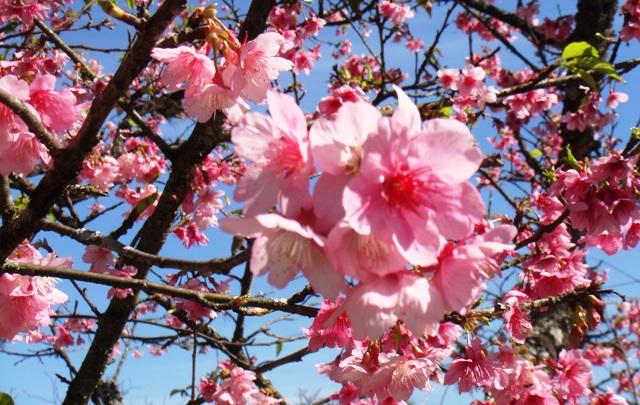 沖縄桜㉂七月二二日