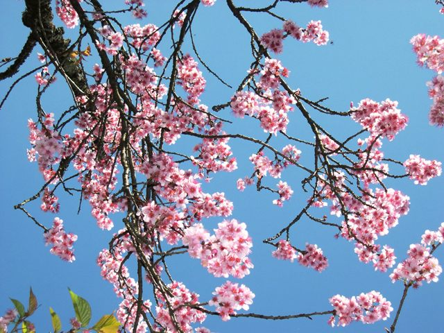 カルモ公園の桜㈬