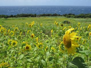 120731-11=ひまわり畑と海