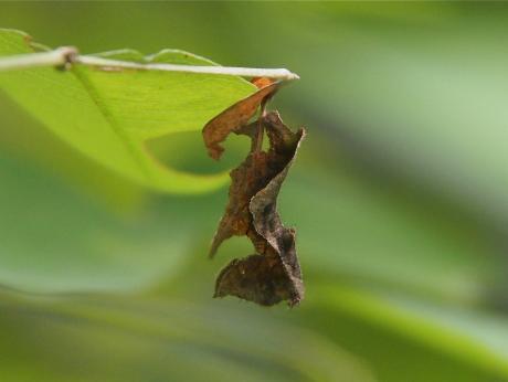 コミスジ幼虫2