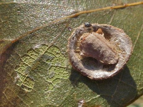 ホソバネマガリガ幼虫2