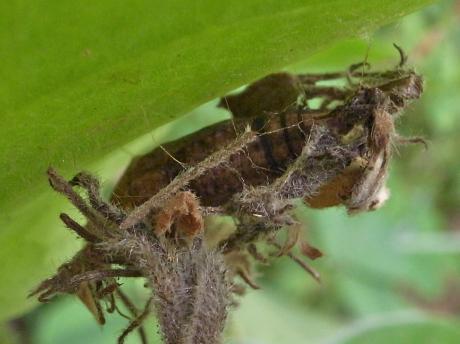 ギンスジアオシャク蛹2