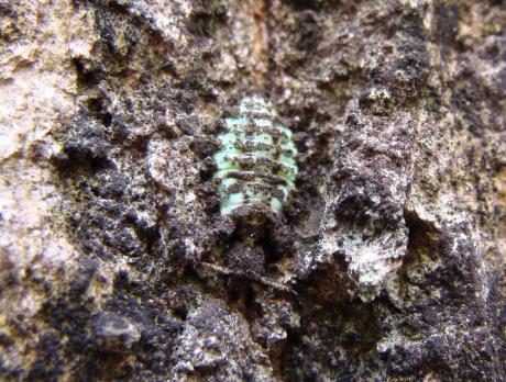 コマダラウスバカゲロウ幼虫3