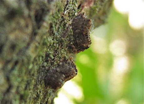 ハネナガウンカ幼虫