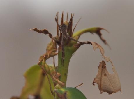 ヒメカギバアオシャク幼虫&コガネグモ科幼体