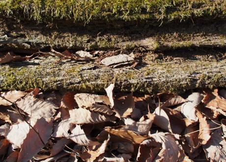 ミカドシリブトガガンボ幼虫