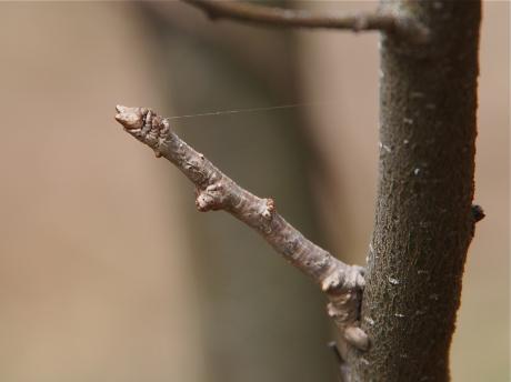 ハミスジエダシャク幼虫か