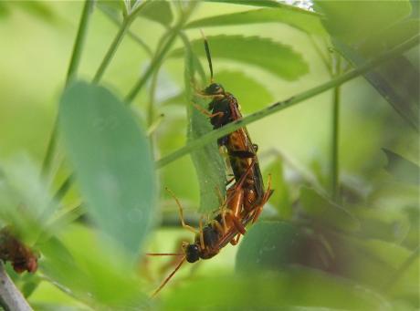 クロムネハバチ交尾