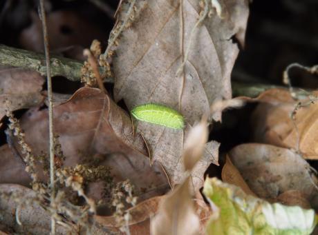 ミズイロオナガシジミ幼虫2
