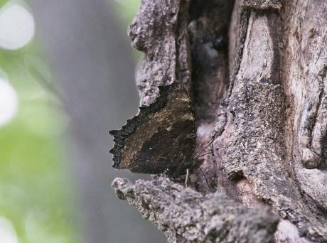 ヒオドシチョウ