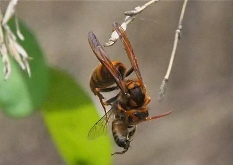 キイロスズメバチ2