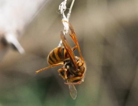 キイロスズメバチ4