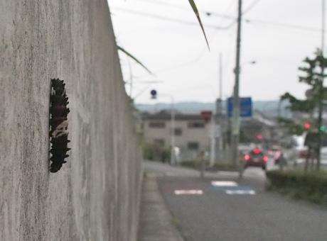 ジャコウアゲハ幼虫