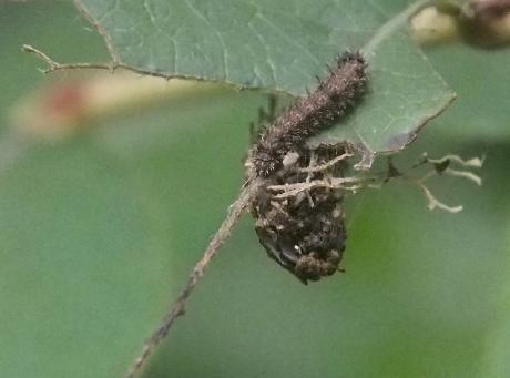 イチモンジチョウ幼虫8