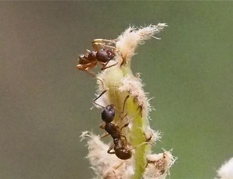 ムラサキシジミ幼虫2