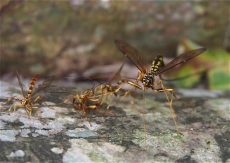オオホシオナガバチ5