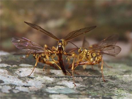 オオホシオナガバチ3
