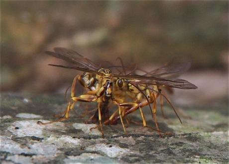 オオホシオナガバチ4