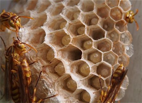 ムモンホソアシナガバチ2