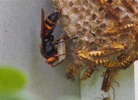 ムモンホソアシナガバチ3