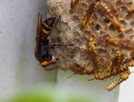 ムモンホソアシナガバチ4