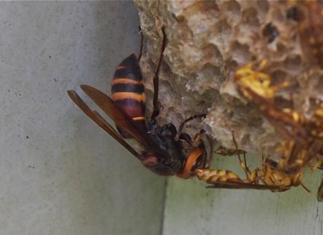 ムモンホソアシナガバチ5