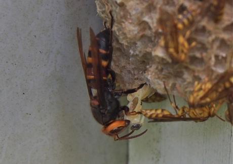 ムモンホソアシナガバチ6