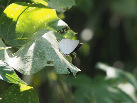 ウラギンシジミ成虫