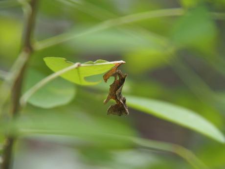 コミスジ幼虫4