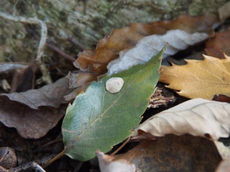ホソバネマガリガ幼虫