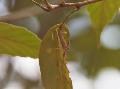 ミナミトゲヘリカメムシ