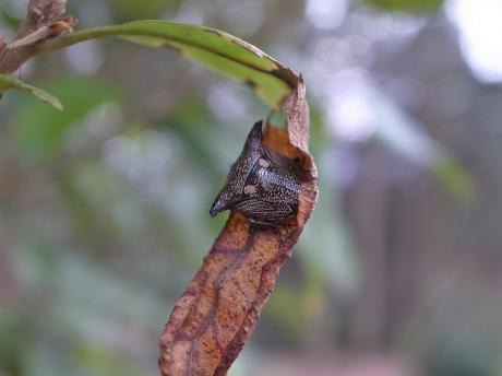 ウシカメムシ